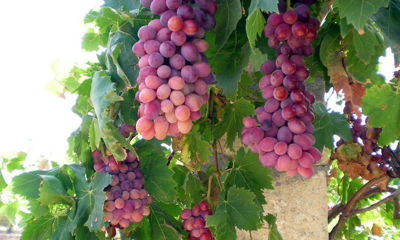 87+ Gambar Akar Anggur Terbaik